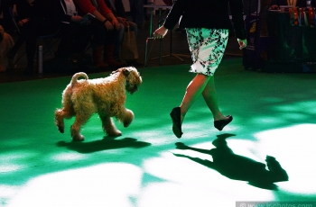 Soft-Coated Wheaten Terrier at Crufts