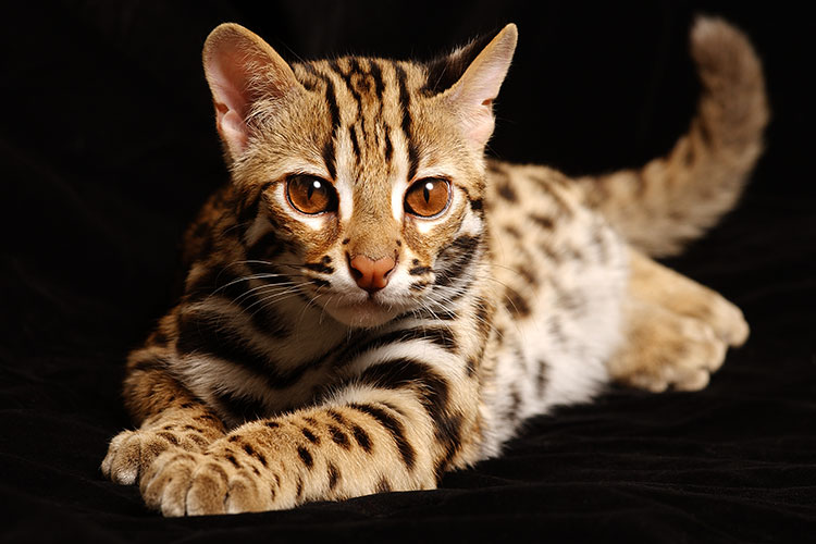 Bengal tiger cat