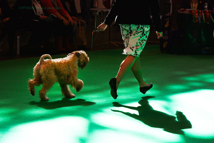 Soft-Coated Wheaten Terrier at Crufts, 2014.